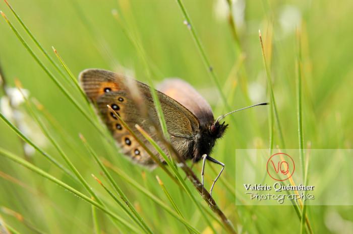 Papillon (nymphalidae)