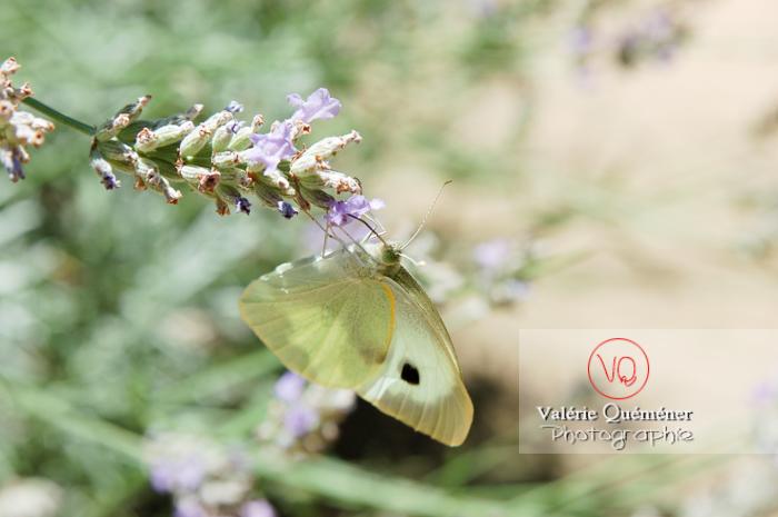 Papillon (pieridae)
