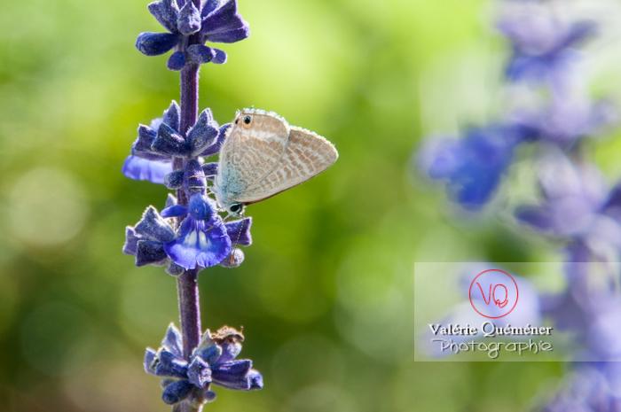Papillon (licanidae)