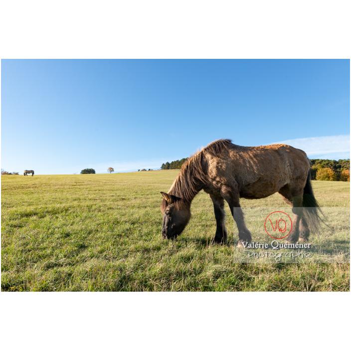 Transhumance des chevaux Konik Polski de la Roche de Solutré