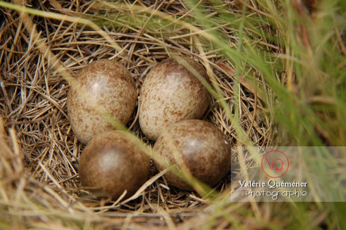 Oeufs dans un nid au sol - Réf : VQA7-0066 (Q1)