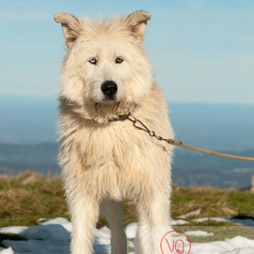 Portrait chien de berger blanc - Réf : VQA1-11-0028 (Q2)