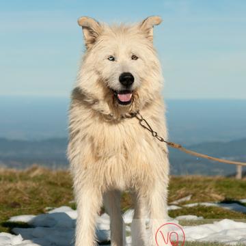 Portrait chien de berger blanc - Réf : VQA1-11-0029 (Q2)