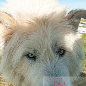 Portrait chien de berger blanc aux yeux vairons - Réf : VQA1-11-0030 (Q2)