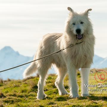 Berger croisé blanc dans les Pyrénées - Réf : VQA1-11-0031 (Q2)