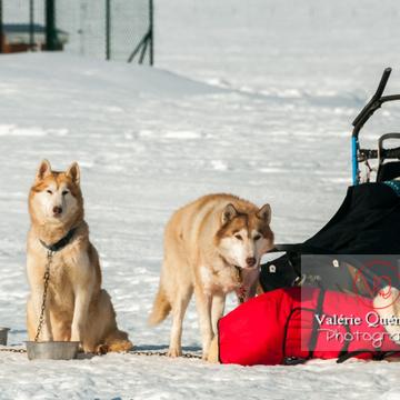 Huskys de couleur sable attelé à un traîneau - Réf : VQA1-11-0032 (Q2)