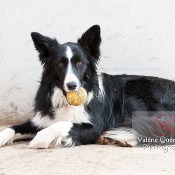 Border Collie une balle de tennis dans la bouche - Réf : VQA1-11-0034 (Q2)