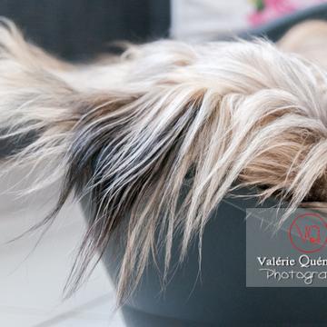 Berger de Pyrénées dormant dans sa panière - Réf : VQA1-11-0053 (Q2)