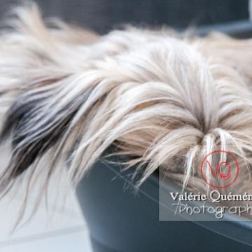 Berger des Pyrénées endormi dans sa panière - Réf : VQA1-11-0054 (Q2)