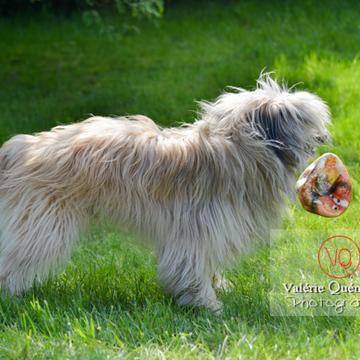 Berger des Pyrénées avec un ballon dans un jardin - Réf : VQA1-11-0061 (Q1)