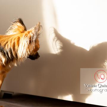 Petit Chien Russe ou Russkiy Toy regardant son ombre - Réf : VQA1-11-0079 (Q3)