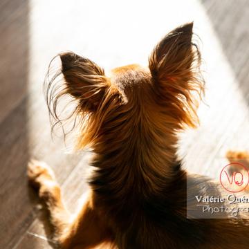 Détail des oreilles de dos d'un Petit Chien Russe ou Russkiy Toy - Réf : VQA1-11-0107 (Q3)