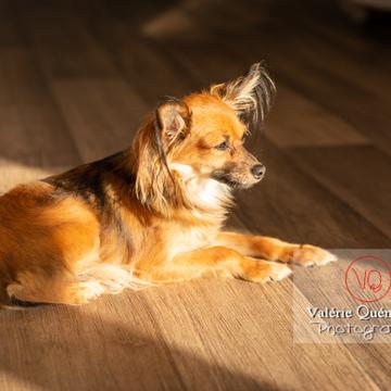 Petit Chien Russe ou Russkiy Toy allongé au soleil en intérieur - Réf : VQA1-11-0119 (Q3)