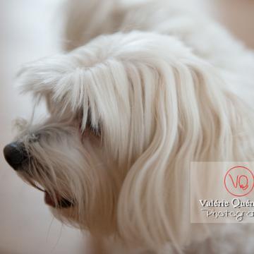 Portrait de profil d'un petit chien blanc Coton Tulear femelle - Réf : VQA1-11-0334 (Q3 rec)