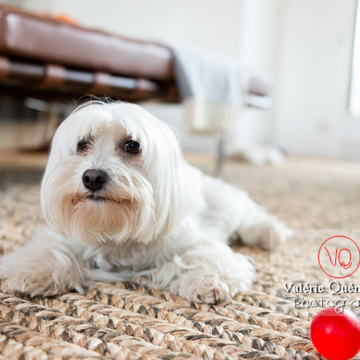 Petit chien blanc Coton Tulear femelle allongée sur un tapis - Réf : VQA1-11-0341 (Q3)
