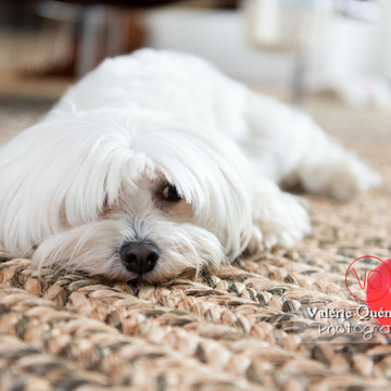 Coton Tulear allongé sur un tapis regardant une balle rouge - Réf : VQA1-11-0344 (Q3)
