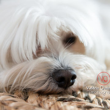 Portrait d'un Coton Tulear allongé sur un tapis - Réf : VQA1-11-0348 (Q3)