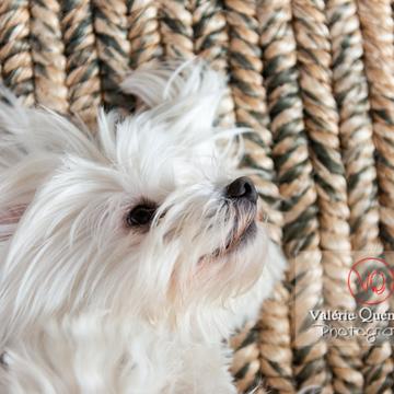 Petit chien blanc Coton Tulear femelle allongée sur le dos - Réf : VQA1-11-0358 (Q3)