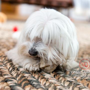 Petit chien blanc Coton Tulear allongé sur un tapis rongeant son os - Réf : VQA1-11-0363 (Q3)