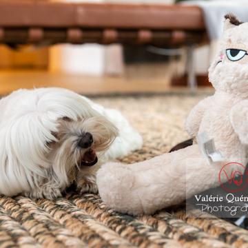 Petit chien blanc Coton Tulear rongeant un os à côté d'un peluche 'grumpy cat' - Réf : VQA1-11-0371 (Q3)