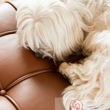 Coton Tulear dormant sur un canapé marron - Réf : VQA1-11-0380 (Q3)