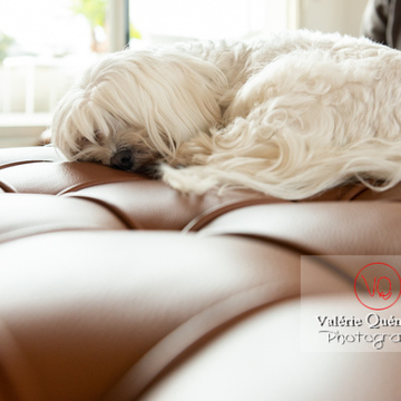Coton Tulear dormant sur un canapé marron - Réf : VQA1-11-0381 (Q3)