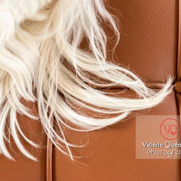 Détail de poils blancs d'un Coton Tulear sur un canapé marron - Réf : VQA1-11-0383 (Q3)