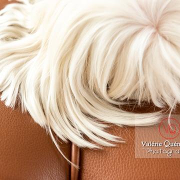 Détail de poils blancs d'un Coton Tulear sur un canapé marron - Réf : VQA1-11-0385 (Q3)