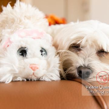 Coton Tulear dormant avec une peluche chat sur un canapé - Réf : VQA1-11-0390 (Q3)
