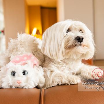 Coton Tulear à côté d'une peluche chat sur un canapé - Réf : VQA1-11-0394 (Q3)