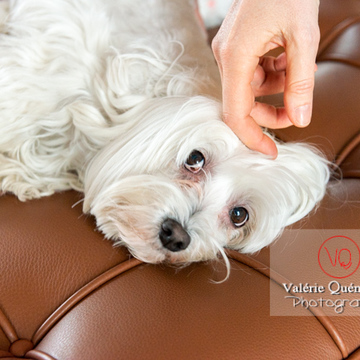Caresse d'un petit chien blanc Coton Tulear femelle allongée sur un canapé - Réf : VQA1-11-0400 (Q3)