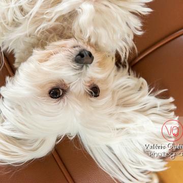 Portrait d'un Coton Tulear allongé sur le dos sur un canapé - Réf : VQA1-11-0404 (Q3)