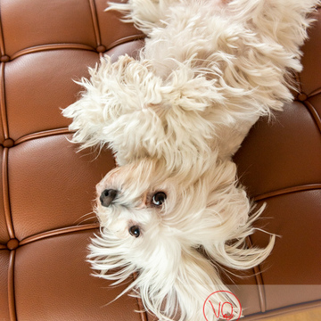 Coton Tulear allongé sur le dos sur un canapé - Réf : VQA1-11-0409 (Q3)