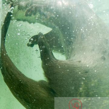 Loutre d'Europe / Zoo de Montpellier - Réf : VQA1-14-0011 (Q2)
