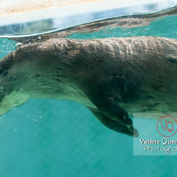 Loutre d'Europe / Zoo de Montpellier - Réf : VQA1-14-0012 (Q2)