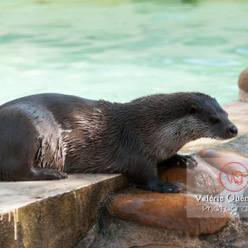 Loutre d'Europe / Zoo de Montpellier - Réf : VQA1-14-0015 (Q2)