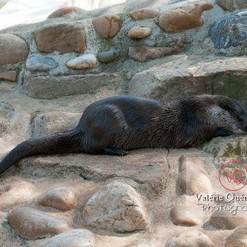 Loutre d'Europe / Zoo de Montpellier - Réf : VQA1-14-0016 (Q2)