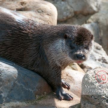 Loutre d'Europe / Zoo de Montpellier - Réf : VQA1-14-0019 (Q2)