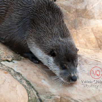 Loutre d'Europe / Zoo de Montpellier - Réf : VQA1-14-0021 (Q2)