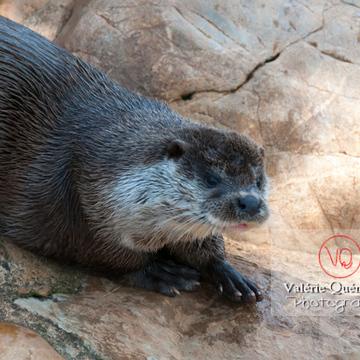 Loutre d'Europe / Zoo de Montpellier - Réf : VQA1-14-0024 (Q2)