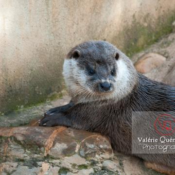 Loutre d'Europe / Zoo de Montpellier - Réf : VQA1-14-0026 (Q2)