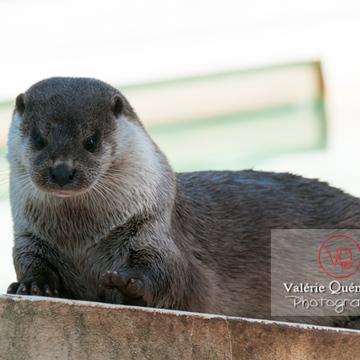 Loutre d'Europe / Zoo de Montpellier - Réf : VQA1-14-0027 (Q2)