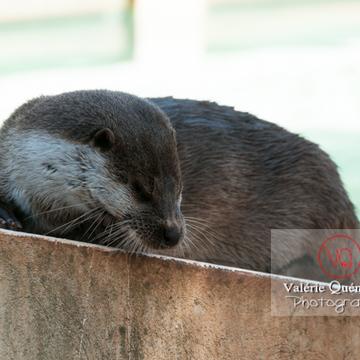 Loutre d'Europe / Zoo de Montpellier - Réf : VQA1-14-0029 (Q2)
