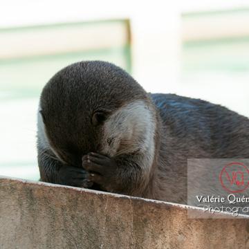 Loutre d'Europe / Zoo de Montpellier - Réf : VQA1-14-0032 (Q2)
