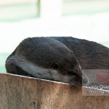 Loutre d'Europe / Zoo de Montpellier - Réf : VQA1-14-0034 (Q2)