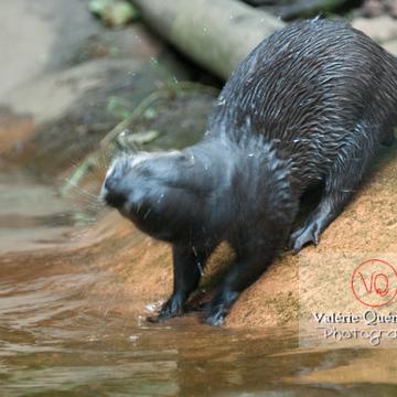 Loutre cendrée / Zoo de Trégomeur - Réf : VQA1-14-0035 (Q2)