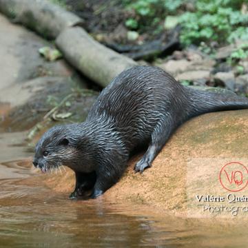 Loutre cendrée / Zoo de Trégomeur - Réf : VQA1-14-0036 (Q2)