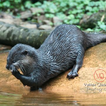Loutre cendrée / Zoo de Trégomeur - Réf : VQA1-14-0039 (Q2)