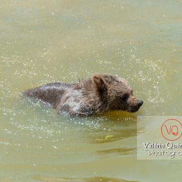 Ourson brun de Sibérie / Zoo de Montpellier / Occitanie - Réf : VQA1-19-0012 (Q2)