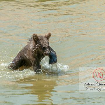 Ourson brun de Sibérie / Zoo de Montpellier / Occitanie - Réf : VQA1-19-0013 (Q2)